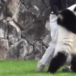 Ein Panda, der sich wie dein betrunkener Kumpel aufführt